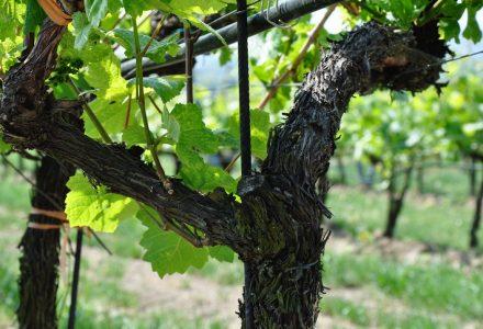 weinreise10 440x300 - Weinreise durch Österreich
